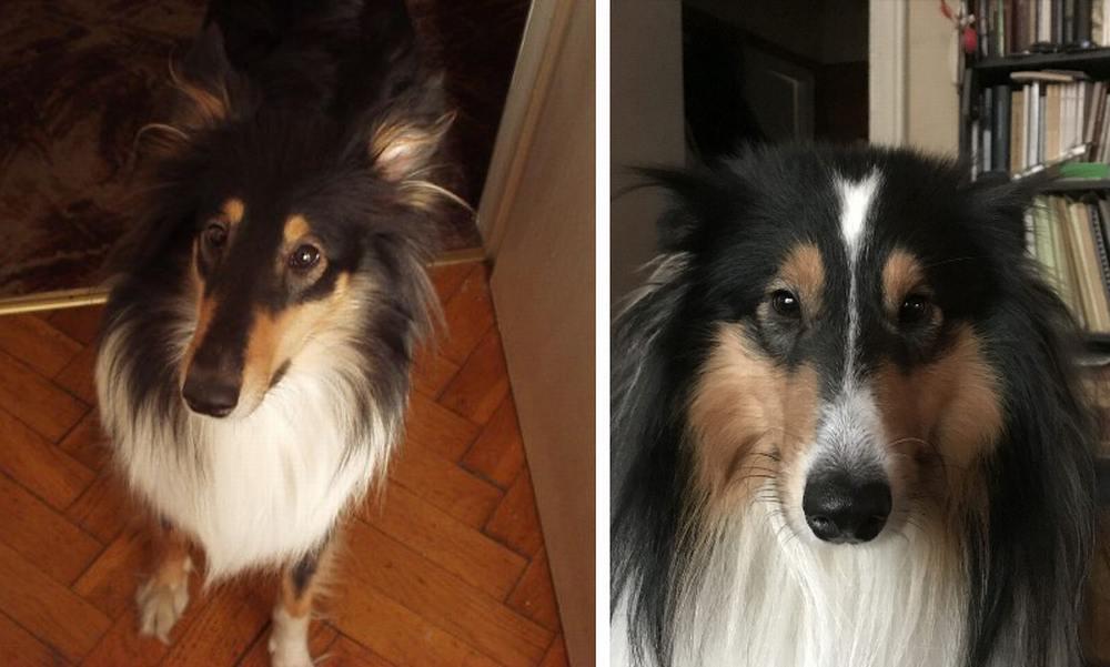 """(左)チラが今のラッキーと同じ1歳半だった頃の写真。こんな時があったんだなと懐かしさがこみ上げる。 (右)ラッキーのほうは額のハート(?)がトレードマーク。娘は""""矢印""""と言ったりもしている。"""