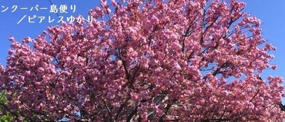 第2回 ビクトリアの桜の歴史